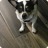 Rat Terrier Mix Dog for adoption in Brooksville, Florida - Theo