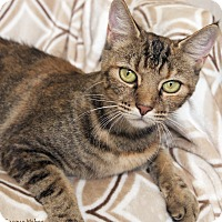 Domestic Shorthair Cat for adoption in St Louis, Missouri - Lana