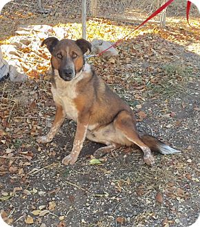 Australian Shepherd/Australian Cattle Dog Mix Dog for adoption in Questa, New Mexico - Dallas