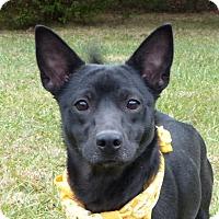 Adopt A Pet :: Ginny - Mocksville, NC