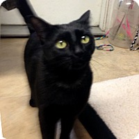 Adopt A Pet :: Chatty Cathy - Milton, MA