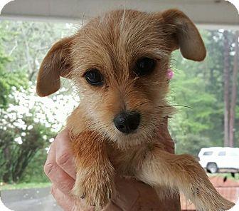 Yorkshire Terrier Nj Julia | Adopted...