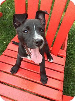 Labrador Retriever/American Staffordshire Terrier Mix Puppy for adoption in Pittsburgh, Pennsylvania - Daisy