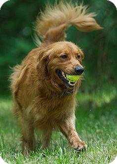 Golden Retriever Dog for adoption in White River Junction, Vermont - Hunter