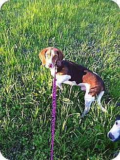Beagle Dog for adoption in Baton Rouge, Louisiana - Jeb