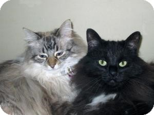 Maine Coon Cat for adoption in Mission Viejo, California - Bailey & Beau