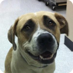 Anatolian Shepherd Mix Dog for adoption in Gilbert, Arizona - Scott