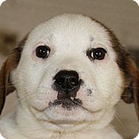 Adopt A Pet :: Patty - Sylvania, GA