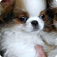 Adopt A Pet :: CLARICE - ADOPTION PENDING - Little Rock, AR
