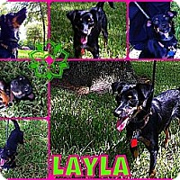 Adopt A Pet :: Layla - Kingwood, TX