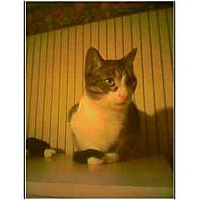 Adopt A Pet :: Franklin AKA Frankie - Owasso, OK