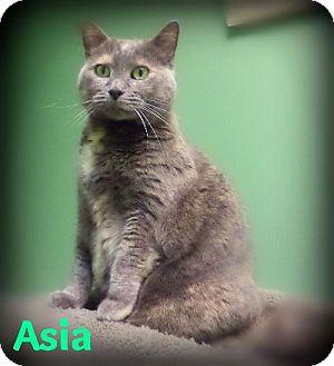 Domestic Shorthair Cat for adoption in Pekin, Illinois - Asia