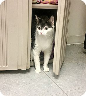 Domestic Shorthair Cat for adoption in Indianola, Iowa - Lucky