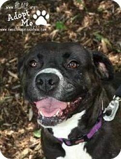Boxer/Labrador Retriever Mix Dog for adoption in Roanoke, Virginia - Abbey