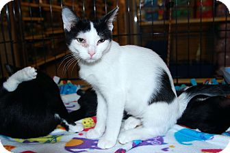 Domestic Shorthair Kitten for adoption in Rochester, Minnesota - Stitch