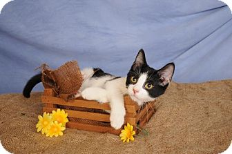 Domestic Shorthair Kitten for adoption in mishawaka, Indiana - Checkers