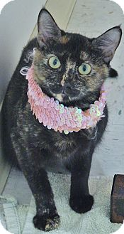Domestic Shorthair Cat for adoption in Chambersburg, Pennsylvania - Pennyworth