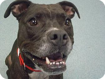 American Pit Bull Terrier/Boston Terrier Mix Dog for adoption in Wichita, Kansas - Meeka