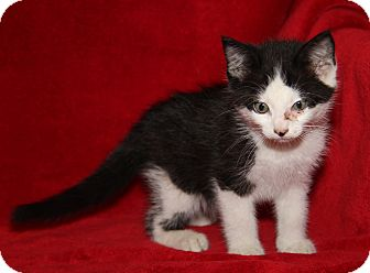 Domestic Shorthair Kitten for adoption in Marietta, Ohio - Stan (Neutered)