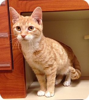 Domestic Shorthair Cat for adoption in North Wilkesboro, North Carolina - Pumpkin
