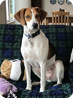 Beagle/Hound (Unknown Type) Mix Dog for adoption in Lexington, Massachusetts - Roscoe