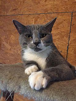 Domestic Shorthair Cat for adoption in Centerton, Arkansas - Prince Charming