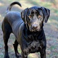 Labrador Retriever Mix Dog for adoption in Spring Valley, New York - MAJOR