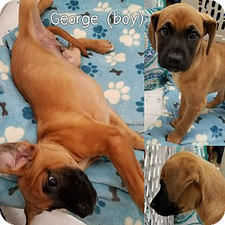 Boxer/German Shepherd Dog Mix Puppy for adoption in Orland Park, Illinois - GEORGE