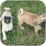 Pug Puppy for adoption in Windermere, Florida - Mini Me and Chunky Monkey