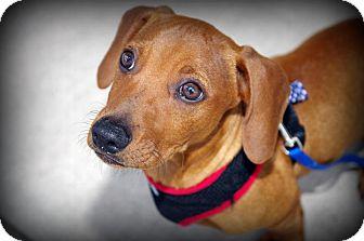 Dachshund Mix Puppy for adoption in Houston, Texas - Kapik