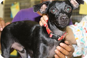 Chihuahua Mix Dog for adoption in Waldorf, Maryland - Ode