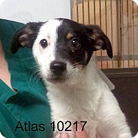 Adopt A Pet :: Atlas - Greencastle, NC