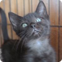Domestic Shorthair Kitten for adoption in San Pablo, California - BABY KITTEN 4