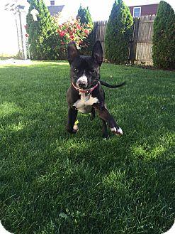 American Pit Bull Terrier Mix Dog for adoption in Levitttown, New York - Rosie
