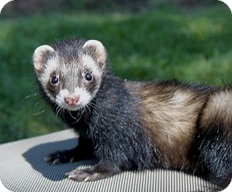 Ferret for adoption in Chantilly, Virginia - Taboo