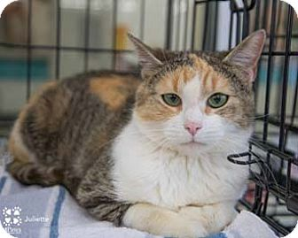 Calico Cat for adoption in Herndon, Virginia - Juliette
