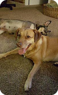 Golden Retriever/Labrador Retriever Mix Dog for adoption in Seattle, Washington - Amber