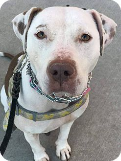 Pit Bull Terrier Mix Dog for adoption in Bronx, New York - Zoey