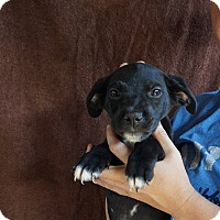 Adopt A Pet :: Hawk - Oviedo, FL