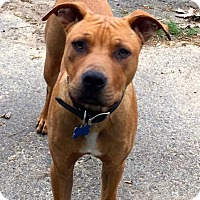 Adopt A Pet :: Gunner - Branford, CT