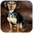 Photo 1 - Miniature Pinscher/Beagle Mix Dog for adoption in Florissant, Missouri - BeBe