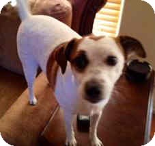 Jack Russell Terrier Mix Dog for adoption in Phoenix, Arizona - PATCHES
