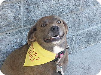 Weimaraner/Labrador Retriever Mix Dog for adoption in Richmond, Virginia - Dixie Daisy