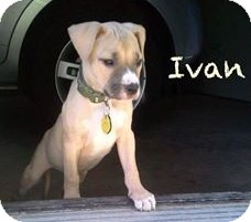 American Staffordshire Terrier/Terrier (Unknown Type, Medium) Mix Puppy for adoption in North Olmsted, Ohio - Ivan