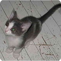 Adopt A Pet :: Marky kitten - Cincinnati, OH