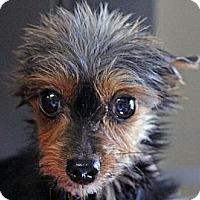 Adopt A Pet :: Wolfie - adoption pending - South Amboy, NJ