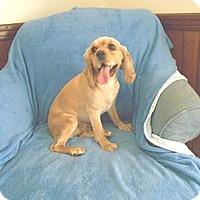 Adopt A Pet :: Ginger - Kannapolis, NC