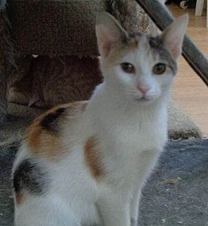 Calico Cat for adoption in Watsontown, Pennsylvania - Mallory