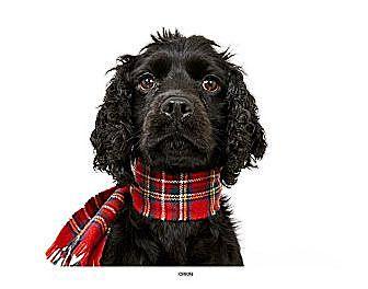 Cocker Spaniel Mix Dog for adoption in New York, New York - Ryan