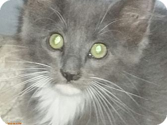 Domestic Mediumhair Kitten for adoption in Grand Junction, Colorado - Curley